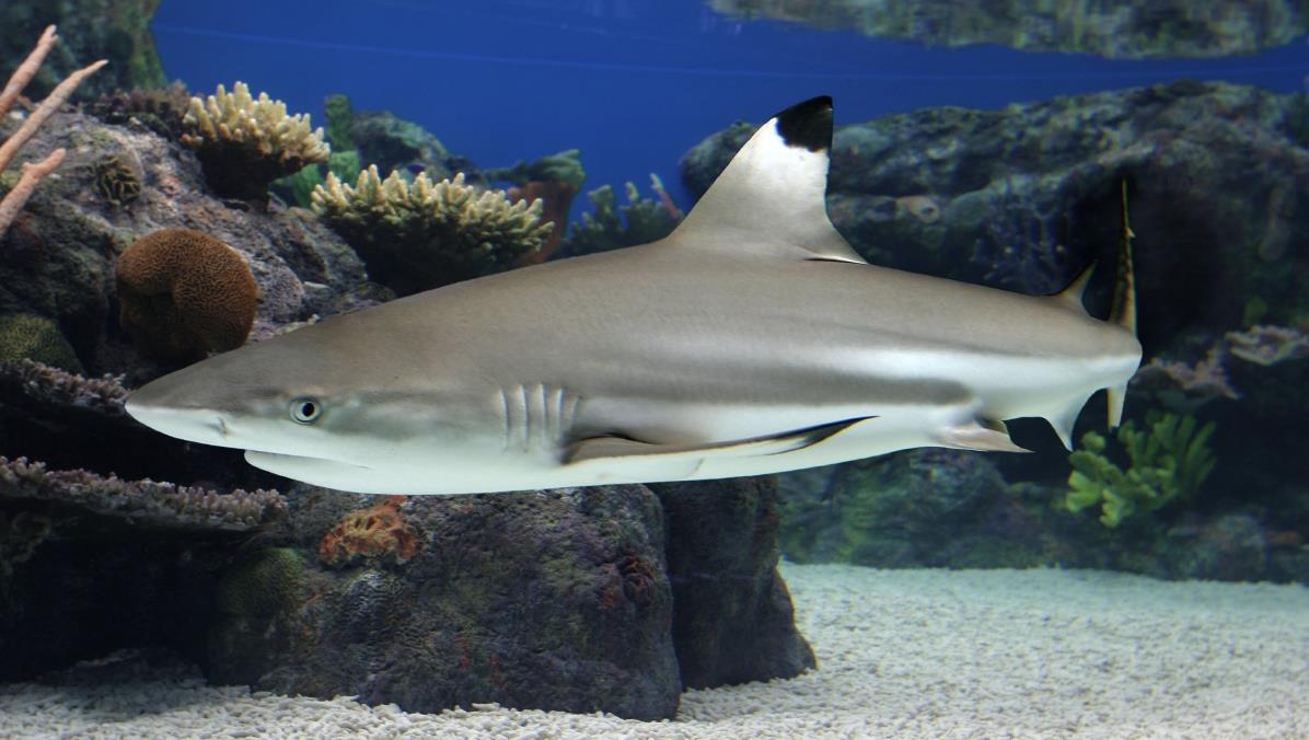 Sharks of the Tropical Pacific | MCC