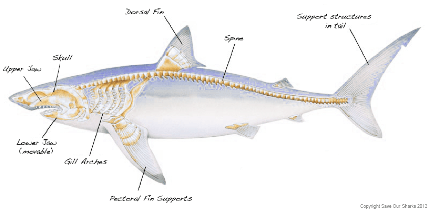 Diagram Of The Whale Shark Skeleton - Trusted Wiring Diagram •